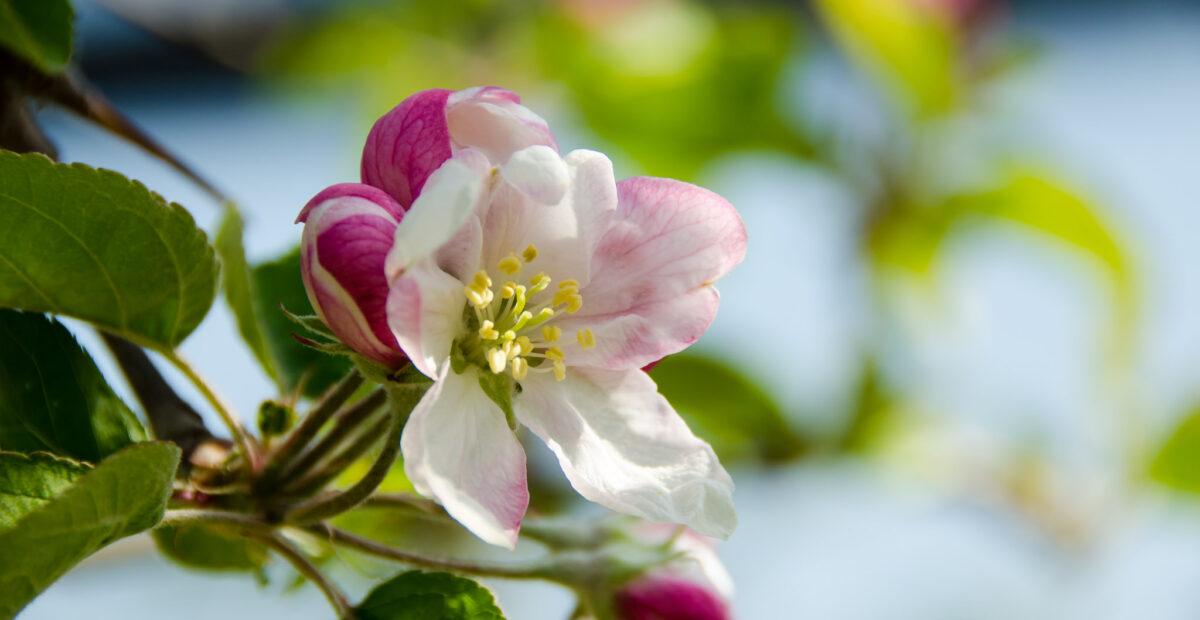 Apfelbaumbluete