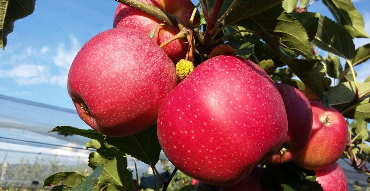 Apfel vom Runggnerhof